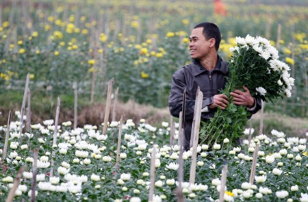 Gardener collecting flowers in Me Linh Flower Village