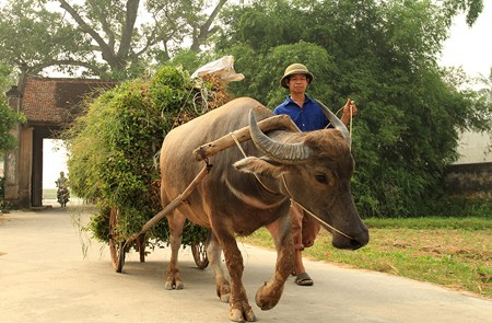 Farmer with his water buffalo in the entrance of Duong Lam Ancient Village