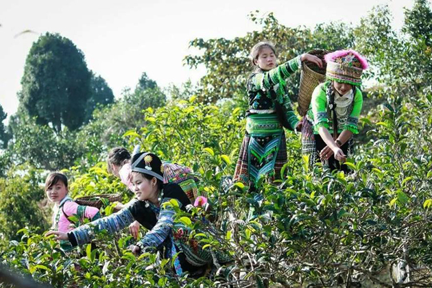 Hmong ethnic girls collecting tea leaves in Suoi Giang Village