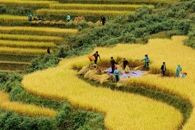 Northern ethnic people in harvest days on the rice terrace